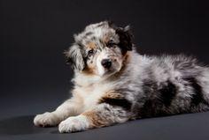 cucciolo di pastore australiano  Australian Sheperd tutto-zampe