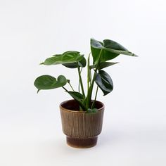 https://shop.pokojovky.co/collections/frontpage/products/monstera