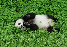 Panda in clover