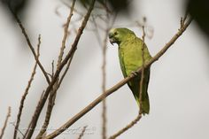 Loro hablador (Turquoise-fronted Parrot) Amazona aestiva - Aves del NEA