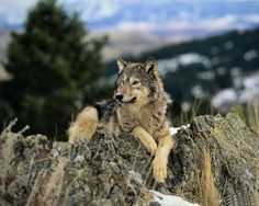awesome wolves | Awesome Wolves Pictures 12 Awesome Wolves Pictures