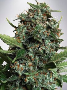 Big Bud XXL Feminized