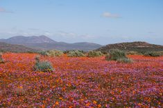 wild flowers of Namibia