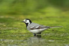 Konipas bílý (Motacilla alba) Feathers, Birds, Animals, Beautiful, Animales, Animaux, Bird, Animais, Feather