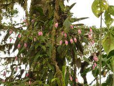 Capanea or Kohleria affinis, Gesneriaceae von    von Ecuador Megadiverso   | Flickr - Photo Sharing!