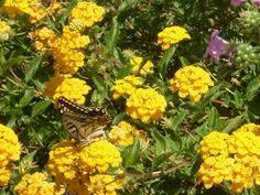 Macaone Butterfly