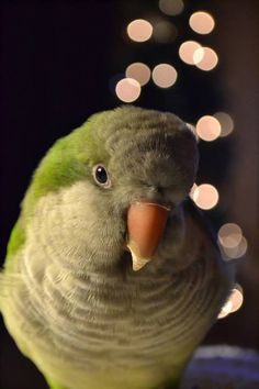 Quaker Parrots are simply gorgeous birds, but in a smaller, more simplistic way than Macaws. And this picture, oh this picture is just stunningly beautiful, with the glittery lights and this precious little bird. It makes me all melty inside.