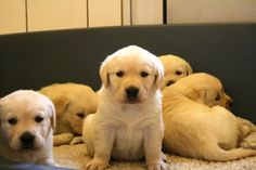 Labs-- Too cute!!