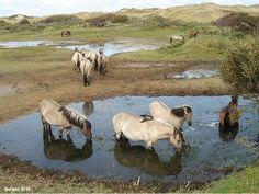 Paarden in de duinen van Bergen Noord Holland
