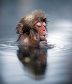 A Japanese snow monkey enjoying the famous hot springs at Jigokudani in Nagano.