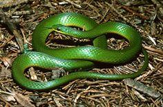 Opheodrys vernalis, smooth green snake, Lioclonorophis, Jasper County, Iowa - Iowa wildlife