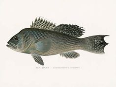 S. F. Denton Antique Fish Prints 1895