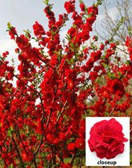 Flowering Quince Double Take 'Scarlet Storm' (Chaenomeles Double Take 'Scarlet Storm') Growing 4'-5' high and wide, produces velvety lipstick-red flowers in spring. doesn't have thorns. good for cutting garden.  Perennial shrub, zones 5-9
