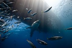 Off the coast of Guadalupe Island, great white sharks gather to feed on sea lions. It is an ideal place to observe these majestic animals in their natural state. Far ideas through Hollywood movies, the great white shark remains fearful of man and does not leave easily approached. (Photo and caption by Marc Henauer /National Geographic Photo Contest )