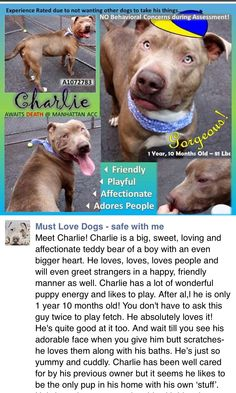 RETURNED 8/14/16!!! PET CONFL!! SUPER URGENT Manhattan center RTO SAFE❤️ 5/16/16 Manhattan Center – P My name is CHARLIE. My Animal ID # is A1072783. I am a male gray and white am pit bull ter mix. The shelter thinks I am about 1 YEAR 10 MONTHS old. I came in the shelter as a OWNER SUR on 05/07/2016 from NY 10468, owner surrender reason stated was PETS CONFL. http://nycdogs.urgentpodr.org/2016/05/charlie-a1072783/