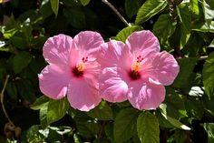 Imagen gratis en Pixabay - Hibisco Rosado, Flor, Florales