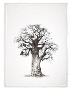 Baobab Tree Klaus Tiedge Legacy Baobab Series