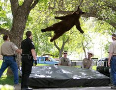 After wandering onto the University of Colorado campus in Boulder and being tranquilized, this black bear fell out of a tree to a soft landing on safety mat below. While the image will live on, unfortunately the bear wasn't so lucky: It was hit by a car after being released back into the wild. - Hmm, Colorado... at least I know it couldn't have been the same bear that I hit!