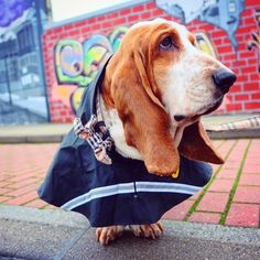 When it's raining ☔️look for rainbow . Pet Dogs, Dog Cat, Doggies, Blue Tick Beagle, Hipster Dog, Bassett Hound, Beagle Puppy, Cute Animals, Crazy Animals