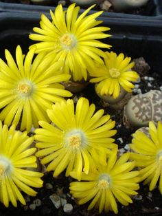 Lithops dorotheae (Living Stones) → Plant characteristics and more photos at: http://www.worldofsucculents.com/?p=6366