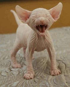 I can't decide if this is the ugliest or cutest kitten ever.