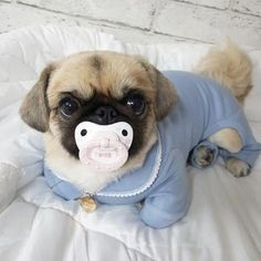 Cute Baby Pugs, Baby Animals Super Cute, Cute Little Puppies, Cute Little Animals, Cute Dogs And Puppies, Cute Funny Animals, Baby Dogs, Pet Dogs, Bulldog Puppies