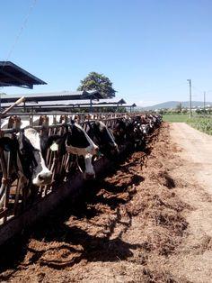 Sin vacas no hay progreso...!