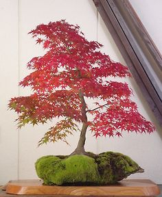 紅葉した山もみじの石付盆栽 Yama-momiji on a rock with red leaves 2013.11.09 撮影