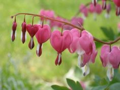 Dicentra spectabilis rose - Plantes et Jardins Flower Care, Herbaceous Perennials, Flower Garden, Plants, Shade Flowers, Beautiful Flowers Garden, Flower Garden Design, Trees To Plant, Shade Plants