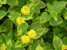 Lantana Samantha - an older, trailing variety. Great performance in the garden! Yellow Flowering Plants, Yellow Plants, Planting Shrubs, Garden Plants, Planting Flowers, Lantana Camara, Lemon Flowers, Yellow Flowers, Container Plants