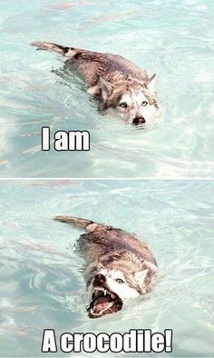 Crocodile Husky is Evolving - Funny Dog Quotes - Crocodile Husky is Evolving Funny Husky Meme Funny Husky Quote The post Crocodile Husky is Evolving appeared first on Gag Dad. The post Crocodile Husky is Evolving appeared first on Gag Dad. Animal Humour, Funny Animal Jokes, Dog Quotes Funny, Cute Funny Animals, Cute Baby Animals, Funny Memes, Memes Humor, Cute Funny Dogs, 9gag Funny