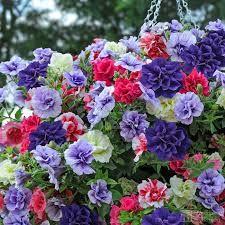 Картинки по запросу petunia Tumbelina Cherry Ripple