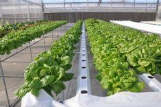 Lettuce Fidel Types Of Lettuce, Lettuce Seeds, Growing Lettuce, Fresh Market, Shelf Life, Fast Growing, Agriculture, Leaves, Green