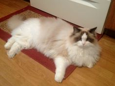 My Ragdoll Cat Enzo - 10 months   ~    Blue Gem Rag Dolls    ~   Ragdoll Cat Kitten