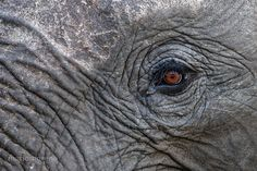 """A close up look at an Elephant's eye. Image captured in Motswari Private Game Lodge in the Timbavati in South Africa. Go to the link below for all the details on the """" Big Cats """" photo tour : PHOTO SAFARIS Elephant Eye, African Elephant, David Sheldrick Wildlife Trust, Ivory Trade, Elephant Photography, Game Lodge, Save The Elephants, Leather Tooling, Big Cats"""