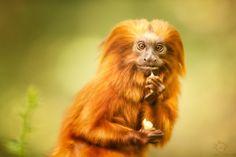 The astonish Golden Lion Tamarin by Manuela Kulpa on 500px