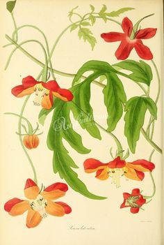 Red-flowered  Loasa, loasa lateritia   ...