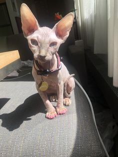 Shes not floofy give her love Sphynx Cat, Cat Breeds, Cool Cats, French Bulldog, Kittens, Pets, Animals, Babies, Kitty