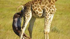 Juhoafrický národný park Kragga Kamma ponúkol turistom vzácny pohľad. Na vlastné oči mohli vidieť v divočine pôrod malej žirafy.