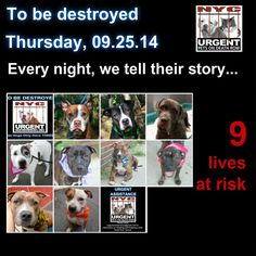 TO BE DESTROYED: 9 Dogs to be euthanized by NYC ACC- THURS. 9/25/14. This is a HIGH KILL shelter group. YOU may be the only hope for these pups! ****PLEASE SHARE EVERYWHERE!!To rescue a Death Row Dog, Please read this:  http://urgentpetsondeathrow.org/must-read/    To view the full album, please click here:    https://www.facebook.com/media/set/?set=a.611290788883804.1073741851.152876678058553&type=3