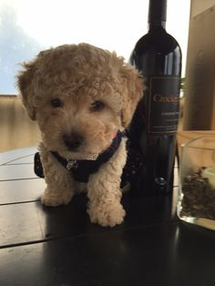 Meet Sophie, our newest Wine Dog!