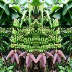 Banana Plants, Fruit Plants, Fruit Garden, Fruit Trees, Flower Plants, Beautiful Fruits, Beautiful Flowers, High Fiber Fruits, Banana Flower