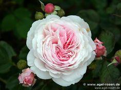 Geoff Hamilton rose | Geoff Hamilton ® wurzelnackte Rose