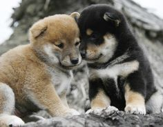 Tan and Black! Chien Akita Inu, Akita Inu Puppy, Akita Puppies, Cute Puppies, Dogs And Puppies, Animals And Pets, Cute Animals, Dog Spay, Japanese Dogs