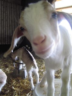 So friendly! Harley Farms Goat Dairy, Pescadero, CA