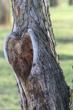 heart in a tree - hearts in nature