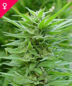 Pure Power Plant Feminized Seeds Buy Your Very Own Here: http://weedseedshop.com/refer.asp?refid={28DF3583-3A1A-4991-93C0-FB5E09CF94DB}&PLU=1580005&l=1