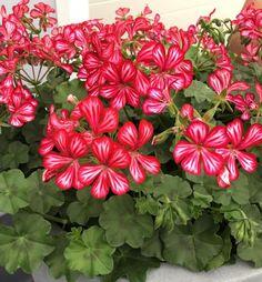 Krásna ťahavá letnička so žiarivými melírovanými červeno-bielymi kvetmi. Mexica, Plants, Planters, Plant