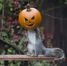 Hungry squirrel gets in Halloween spirit with giant pumpkin mask   Trying a giant pumpkin on for size, this frightening squirrel looks like he's practicing his trick-or-treating skills in the run-up to Halloween.