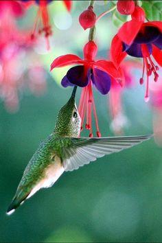 """Humming birds - Brinco-de-Princesa: É uma flor com cores muito vivas e por isso significam """"superioridade"""""""